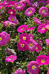 SuperCal® Pink Ice Petchoa (Petchoa 'SuperCal Pink Ice') at Hicks Nurseries