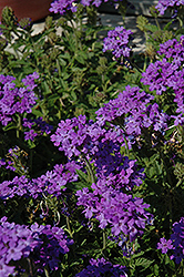 Superbena® Royale Chambray Verbena (Verbena 'Superbena Royale Chambray') at Hicks Nurseries
