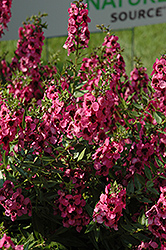 Carita Raspberry Angelonia (Angelonia angustifolia 'Carita Raspberry') at Hicks Nurseries