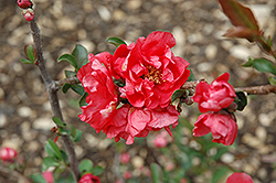Double Take Pink™ Flowering Quince (Chaenomeles speciosa 'Double Take Pink Storm') at Hicks Nurseries