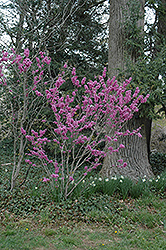 Avondale Redbud (Cercis chinensis 'Avondale') at Hicks Nurseries