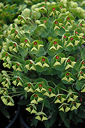 Tiny Tim Spurge (Euphorbia 'Tiny Tim') at Hicks Nurseries