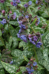 High Contrast Lungwort (Pulmonaria 'High Contrast') at Hicks Nurseries