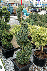 Green Mountain Boxwood (spiral form) (Buxus 'Green Mountain (spiral)') at Hicks Nurseries