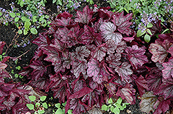 Dolce® Blackberry Ice Coral Bells (Heuchera 'Blackberry Ice') at Hicks Nurseries
