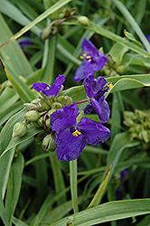 Zwanenburg Blue Spiderwort (Tradescantia x andersoniana 'Zwanenburg Blue') at Hicks Nurseries