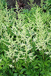 Snowdrift Astilbe (Astilbe x arendsii 'Snowdrift') at Hicks Nurseries