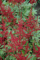 Red Sentinel Astilbe (Astilbe x arendsii 'Red Sentinel') at Hicks Nurseries