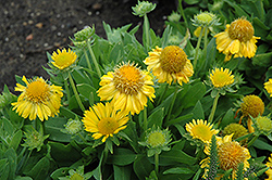 Mesa Yellow Blanket Flower (Gaillardia x grandiflora 'Mesa Yellow') at Hicks Nurseries