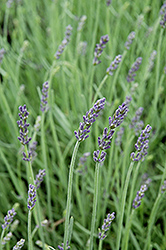 Silver Mist Lavender (Lavandula angustifolia 'Silver Mist') at Hicks Nurseries