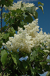 Ivory Silk Tree Lilac (tree form) (Syringa reticulata 'Ivory Silk (tree form)') at Hicks Nurseries