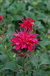 Fireball Beebalm (Monarda didyma 'Fireball') at Hicks Nurseries