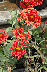 Fanfare Blaze Blanket Flower (Gaillardia x grandiflora 'Fanfare Blaze') at Hicks Nurseries