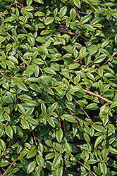 Spreading Willowleaf Cotoneaster (Cotoneaster salicifolius 'Repens') at Hicks Nurseries