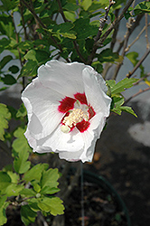 Red Heart Rose Of Sharon (Hibiscus syriacus 'Red Heart') at Hicks Nurseries