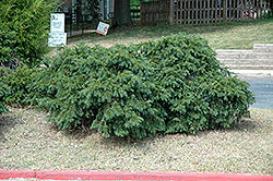 Spreading English Yew (Taxus baccata 'Spreading') at Hicks Nurseries