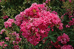 Tonto Crapemyrtle (Lagerstroemia 'Tonto') at Hicks Nurseries