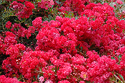 Cherry Dazzle Crapemyrtle (Lagerstroemia indica 'Gamad 1') at Hicks Nurseries