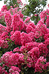 Seminole Crapemyrtle (Lagerstroemia 'Seminole') at Hicks Nurseries