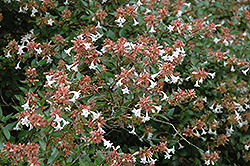 Glossy Abelia (Abelia x grandiflora) at Hicks Nurseries