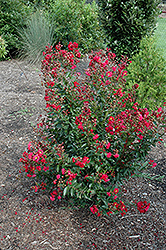Red Rooster Crapemyrtle (Lagerstroemia indica 'PIILAG III') at Hicks Nurseries