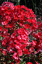Orange Perfection Garden Phlox (Phlox paniculata 'Orange Perfection') at Hicks Nurseries