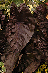 Puckered Up Elephant Ear (Colocasia esculenta 'Puckered Up') at Hicks Nurseries
