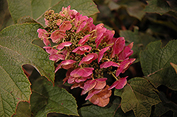 Ruby Slippers Hydrangea (Hydrangea quercifolia 'Ruby Slippers') at Hicks Nurseries
