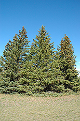 White Spruce (Picea glauca) at Hicks Nurseries