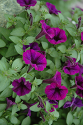 Littletunia Purple Petunia (Petunia 'Littletunia Purple') at Hicks Nurseries