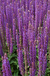 East Friesland Sage (Salvia nemorosa 'East Friesland') at Hicks Nurseries