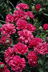 Early Bird™ Sherbet Pinks (Dianthus 'Wp08 Nik03') at Hicks Nurseries