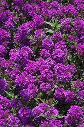 Homestead Purple Verbena (Verbena 'Homestead Purple') at Hicks Nurseries