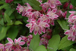 Pink-A-Boo Deutzia (Deutzia 'Monzia') at Hicks Nurseries