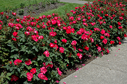 Knock Out® Rose (Rosa 'Radrazz') at Hicks Nurseries