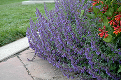 Six Hills Giant Catmint (Nepeta x faassenii 'Six Hills Giant') at Hicks Nurseries