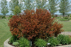Coppertina® Ninebark (Physocarpus opulifolius 'Mindia') at Hicks Nurseries