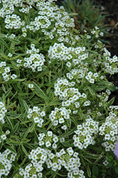Frosty Knight Alyssum (Lobularia 'Frosty Knight') at Hicks Nurseries