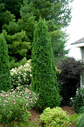 North Pole® Arborvitae (Thuja occidentalis 'Art Boe') at Hicks Nurseries