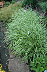 Ice Dance Sedge (Carex morrowii 'Ice Dance') at Hicks Nurseries