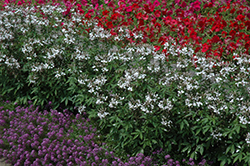 Senorita Blanca Spiderflower (Cleome 'Senorita Blanca') at Hicks Nurseries