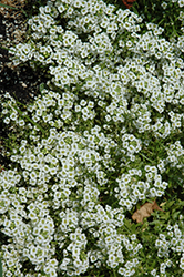Snow Princess Alyssum (Lobularia 'Snow Princess') at Hicks Nurseries