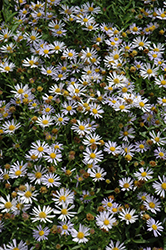 Blue Star Japanese Aster (Kalimeris incisa 'Blue Star') at Hicks Nurseries