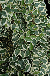 Variegated Creeping Fig (Ficus pumila 'Variegata') at Hicks Nurseries