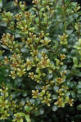 Compact Inkberry Holly (Ilex glabra 'Compacta') at Hicks Nurseries