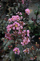 Rhapsody In Pink Crapemyrtle (Lagerstroemia indica 'Whit VIII') at Hicks Nurseries