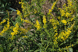 Solar Cascade Goldenrod (Solidago shortii 'Solar Cascade') at Hicks Nurseries