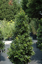 Oak Leaf™ Holly (Ilex 'Conaf') at Hicks Nurseries