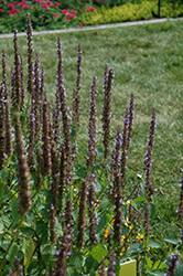 Little Adder Hyssop (Agastache rugosa 'Little Adder') at Hicks Nurseries