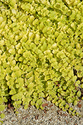Goldilocks Creeping Jenny (Lysimachia nummularia 'Goldilocks') at Hicks Nurseries
